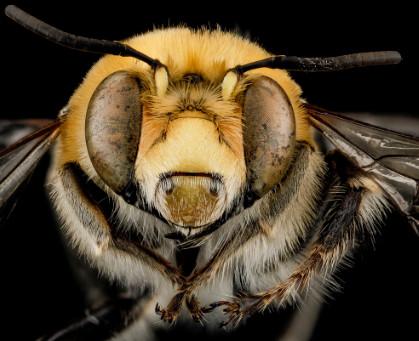فوائد لسع النحل في الرأس