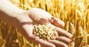هل مرض حساسية القمح خطير